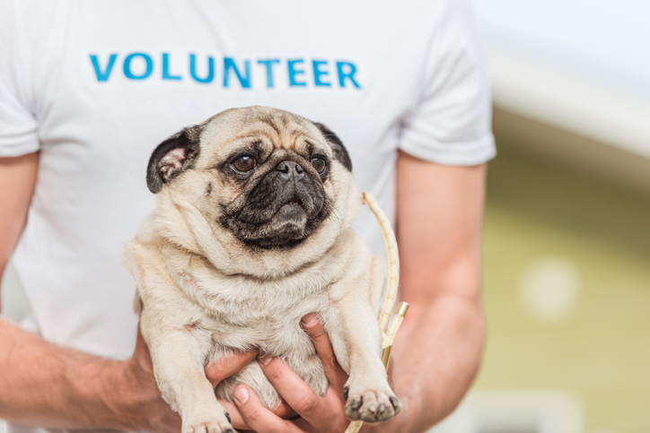 volunteering with a pug